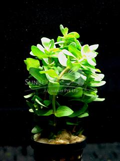 Bacopa caroliniana-emerge