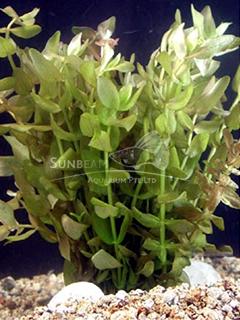 Bacopa caroliniana 'Variegata'-submerse