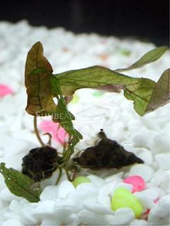 Barclaya longifolia-submerse