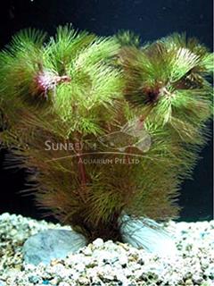 Cabomba piauhyensis-submerse