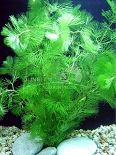 Cabomba caroliniana 'Special'-submerse
