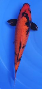 Okawa Hi Utsuri 43cm