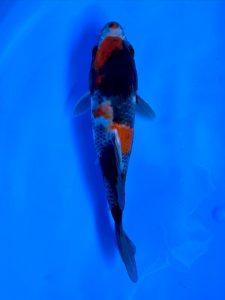 Marugen bred WYSIWYG Showa 17cm