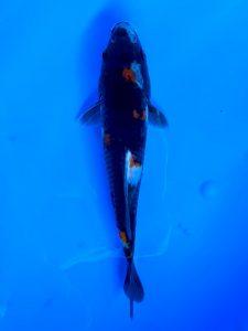 Marugen bred WYSIWYG Showa 19cm