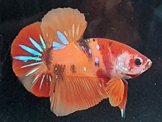WYSIWYG Candy Nemo HMPK (sold)