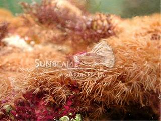 Brown Star Polyp
