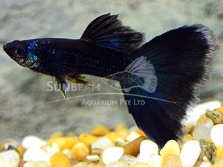 moscow blue guppy