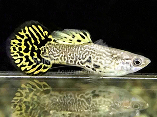 lace roundtail guppy