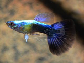 blue neon guppy