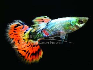 multicolor neon guppy