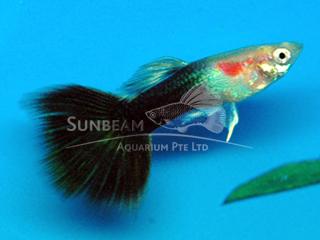 black tail blonde guppy