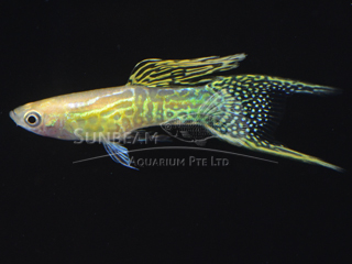 yellow lace double swordtail guppy