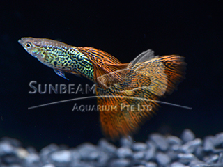 RED LACE DELTA GUPPY