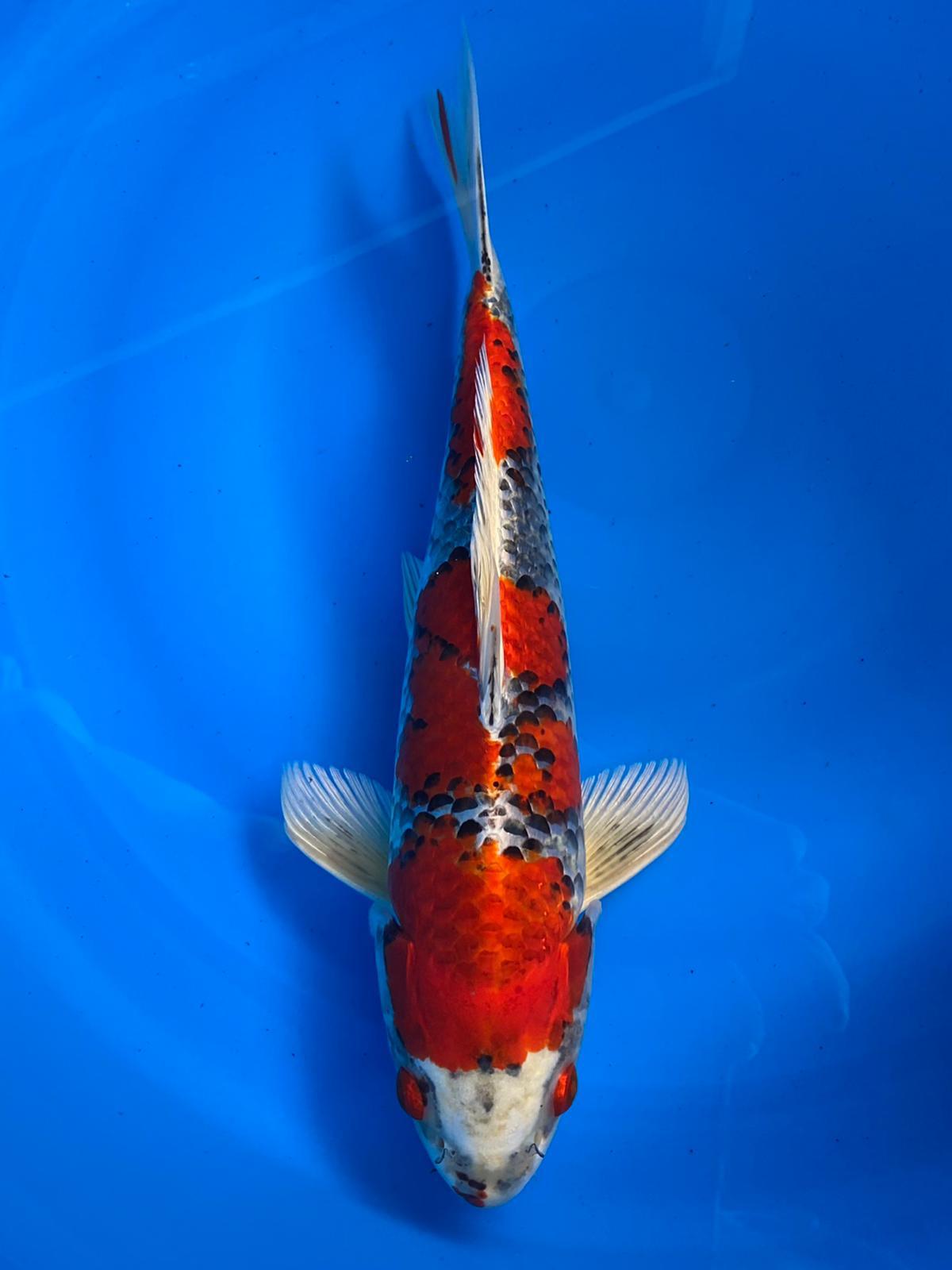 WYSIWYG Marusei Kujaku 34cm