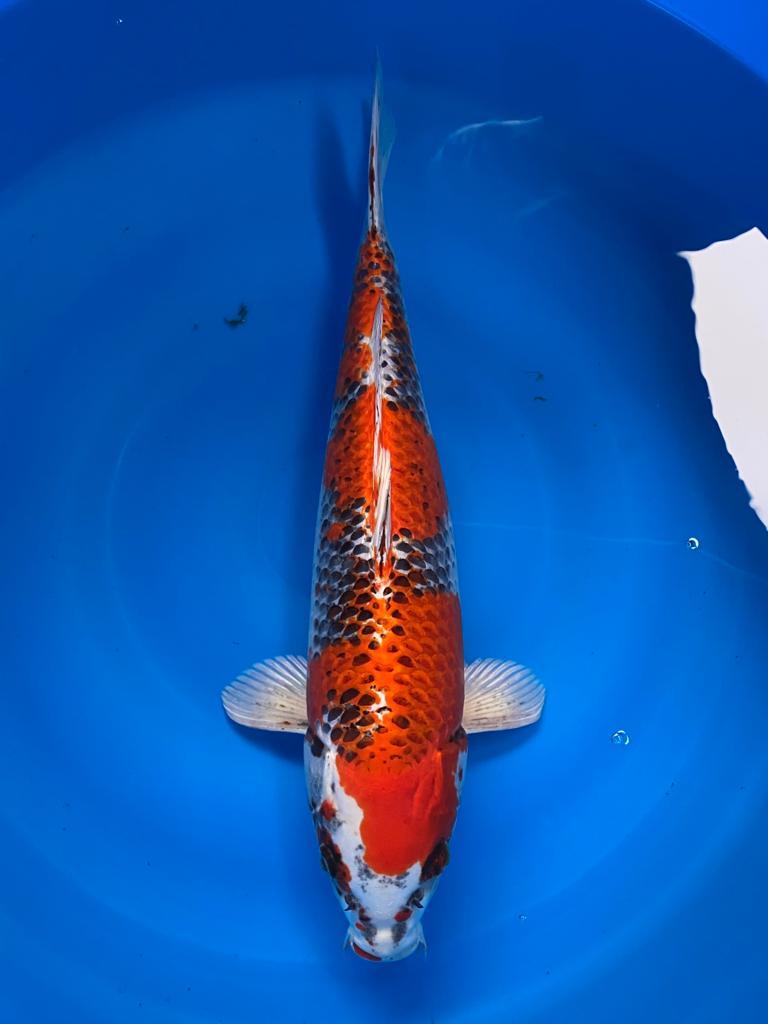 WYSIWYG Marusei Kujaku 43cm