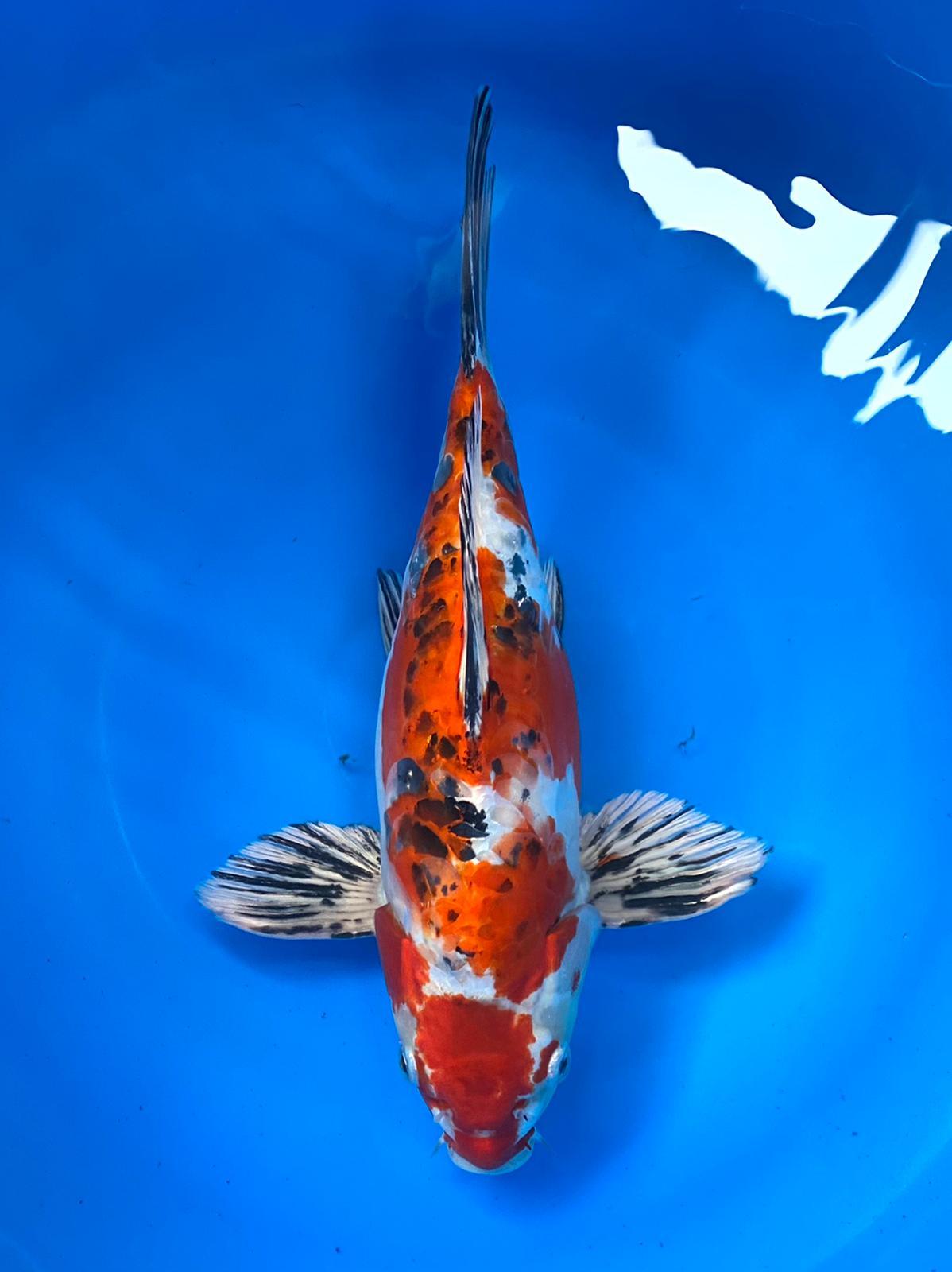 wysiwyg Special Short Body Tanaka Beni Kikokuryu 32cm