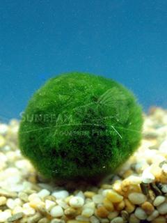 Chladophora aegagrophila 'Moss Balls'