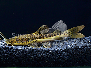 Redtail marble Catfish